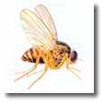 Information about flies