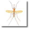 Information about mosquitoes